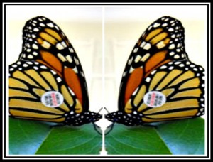 Monarch Mirror Image