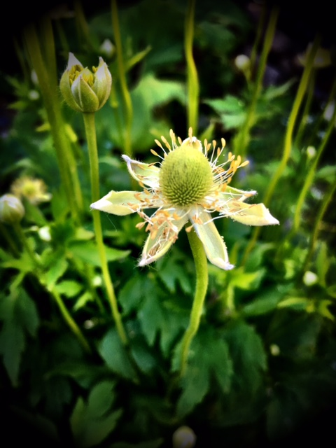 Thimbleweed blossom.