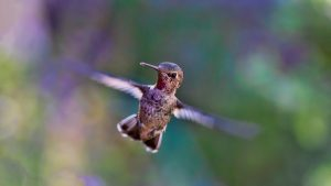 Hummingbird looking