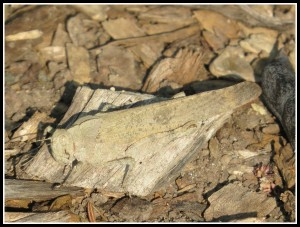 Grasshopper camaflaged